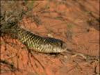 Mulga snake glides through outback, Australia