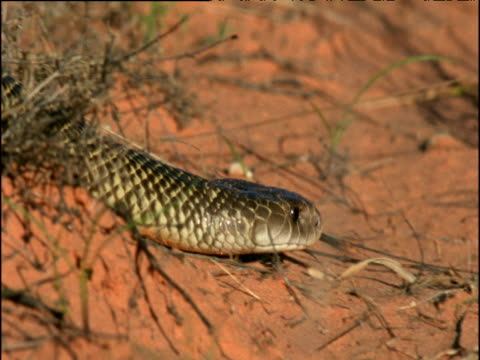 Mulga snake glides through outback, Australia