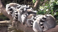 Multiple Lemurs sleeping on a log or branch