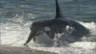 MS Multiple seals swimming in surf are attacked by single orca / Puerto Madryn, Chubut, Argentina