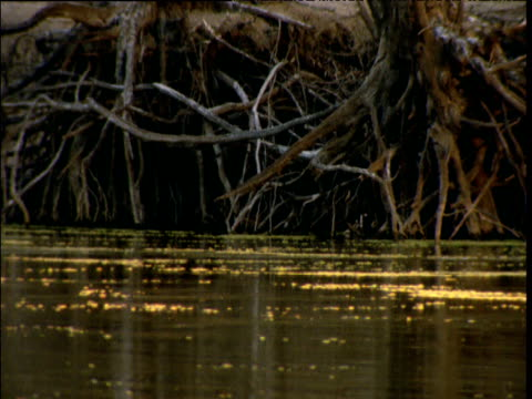 Murray River flows slowly past gnarled roots of red river gums in Barmah Forest, Victoria, Australia