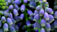 Muscari flowers time lapse