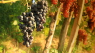 HD DOLLY: Muscat Grape In Vineyard