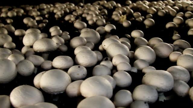 Mushrooms in greenhouse