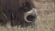 A musk ox forages along the tundra.
