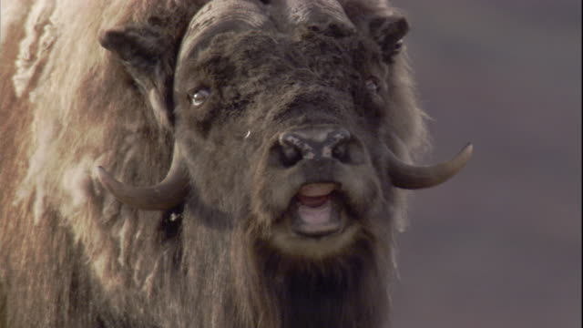 A musk ox grazes on the tundra, then lifts its head and bellows.