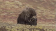 A musk ox lies down on the tundra.