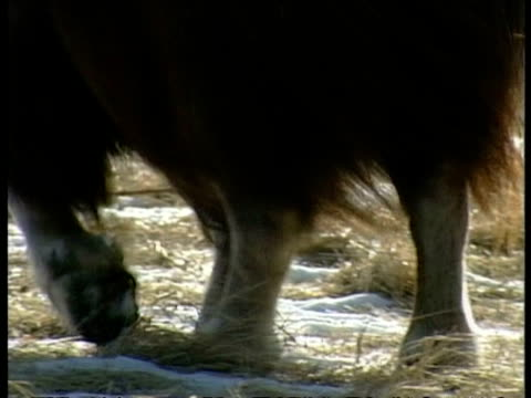CU Musk Ox, Ovibos moschatus, legs waking across tundra, Arctic