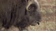 A musk ox walks in front of its calf.