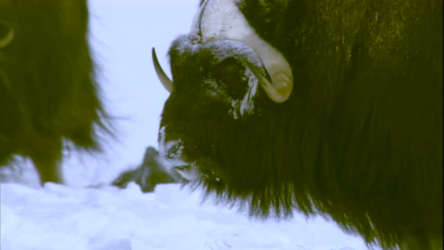 Musk oxen stand on snow in Arctic Canada. Available in HD.