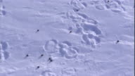 Musk oxen tracks and dung lead across the snowy tundra of Arctic Canada. Available in HD.