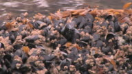 CU, Mussels, barnacles and seaweed on shore, Glacier Bay National Park and Preserve, Alaska, USA