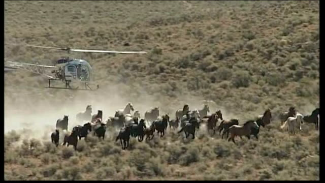Mustang horse roundup angers animal rights activists USA California Twin Peaks EXT Wild Mustang horses galloping across the range PAN up to chopper...