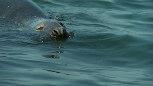 A mutilated seal barely keeps its head above water as it slowly swims.