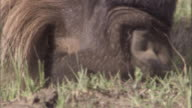 Muzzle of grazing wildebeest. Available in HD.