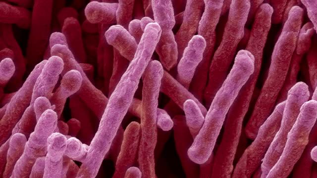'Mycobacterium smegmatis bacteria, SEM'