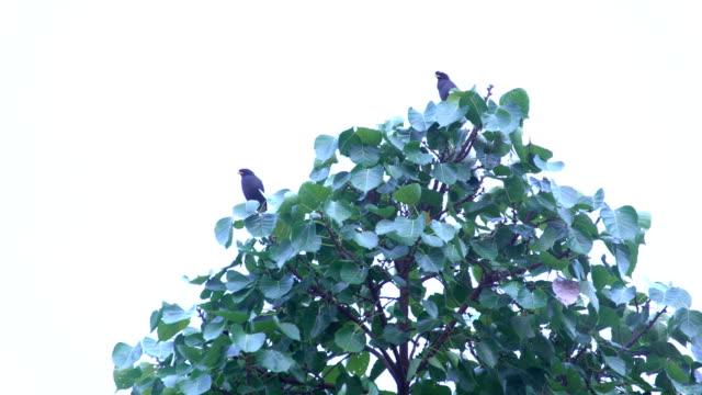 Mynas bird