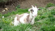 Nanny goat chewing and twitching in the garden