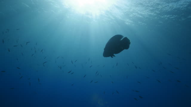 Napoleonfish (Humphead Wrasse) swimming in sea surface (4K)
