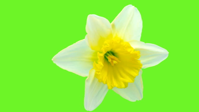 Narcissus blooming against chroma key background in a time lapse Hd 1080 video.