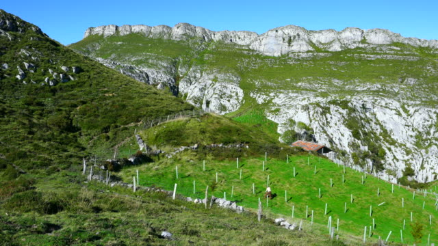 Native trees reforestation in Miera Valley, Valles Pasiegos, Cantabria, Spain, Europe