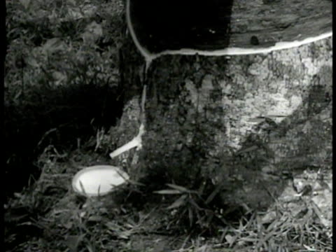 Native worker cutting groove into tree rubber plantation CU Rubber tree being tapped groove leading to tray MS Indonesian worker w/ rake in trough of...