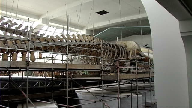Natural History Museum whale skeleton cleaned ENGLAND London Natural History Museum INT Various shots of blue whale skeleton surrounded by scaffolding