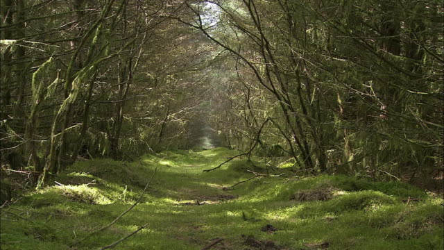 Natural path in forest with overhanging trees, Northern Ireland, Zoom in