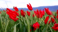 Natural Red Tulips fluctuating in the wind slow motion