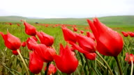 Natural Red Tulips fluctuating in the wind slow motion with dew