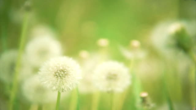 Natural video background. Dandelions in the meadow. HD. Loop