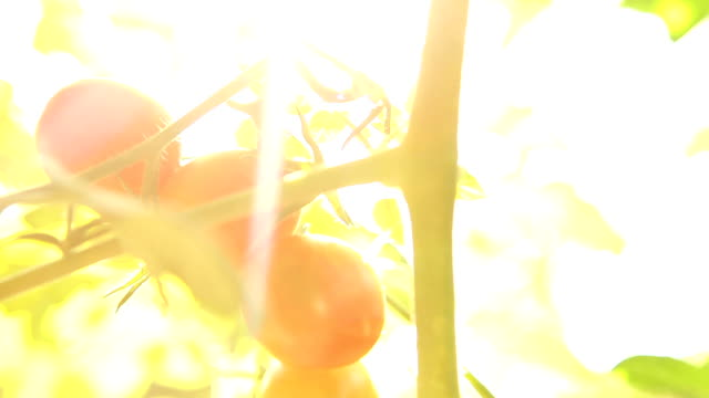 nature light tomato