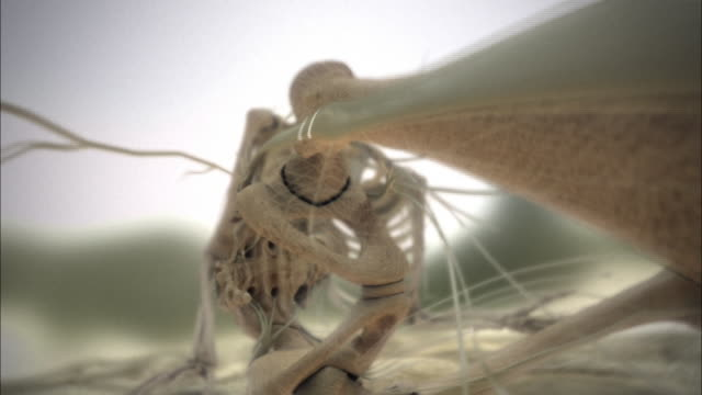 Nerve impulses fire through a skeleton from the foot to the brain.