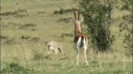 Nervous Thomson's gazelle (Eudorcus thomsonii) watches cheetah and stamps feet on savannah, Masai Mara, Kenya