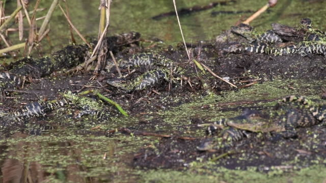 Nest of Baby Alligators