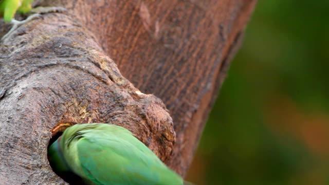 Nesting Parakeets