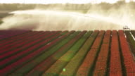 Netherlands, Krabbendam, Flowering tulip fields, Sprinkler, Aerial view