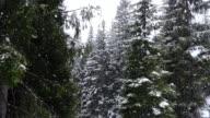 Nevica in un bosco di pini
