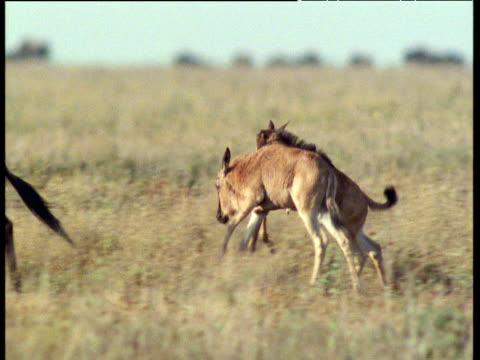 New born wildebeest runs clumsily on savanna