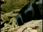 New Caledonian crow fishes out huge grub from tree trunk using stick tool, New Caledonia