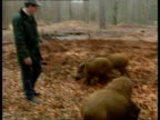Wild Boars ITN ENGLAND Hants New Forest MS Family of wild boars feeding amongst fallen leaves in forest TCMS Ditto CS Younger boars chewing as apple...