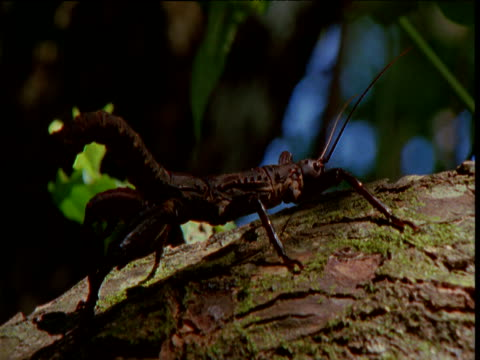 New Guinea giant stick insect on branch, New Britain, Papua New Guinea