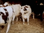 New technique of freezing cattle embryos ENGLAND Lincolnshire Cows in pen