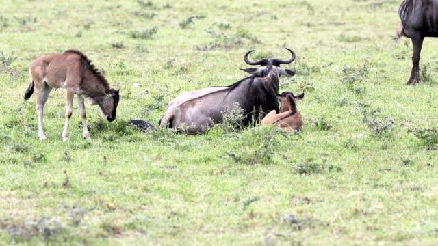 newborn baby wildebeest