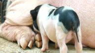 Newborn hungry piglets suckling in a modern farm.