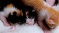 Newborn kitten are drinking mother's milk.