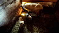 Newborn lambs suckling milk in the barn