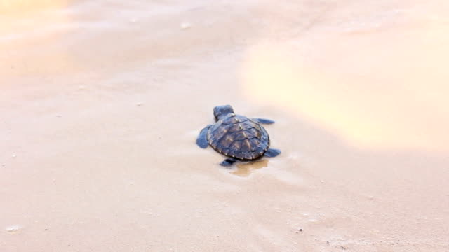 Newborn of turtle on beach,let go to the sea