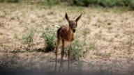 Newborn Springbok and mother in open grassland, Kgalagadi Transfrontier Park, South Africa