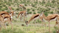 Newborn Springbok tries to stand for the first time, Kgalagadi Transfrontier Park, South Africa